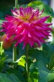 Magenta Flower