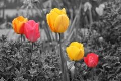 Tulip Art Color Splash
