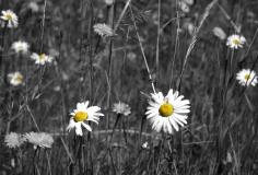 Daisy Flowers Color Splash