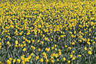 Field of Yellow Daffodils photo thumbnail