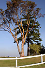 Tree, Blue Sky, & White Fence photo thumbnail