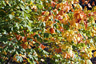 Close Up of Leaves Changing Color photo thumbnail
