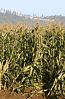 Corn Crops Growing in a Field photo thumbnail