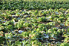 Cabbage on a Farm photo thumbnail