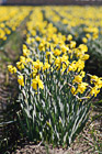 Daffodils Row photo thumbnail