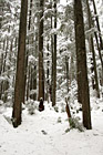 Rows of Winter Trees photo thumbnail