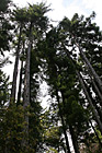 Tall Trees photo thumbnail