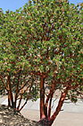 Madrone Trees photo thumbnail