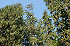 Looking Up at Sitka Spurce Trees photo thumbnail
