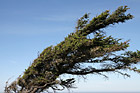 Wind Blown Tree photo thumbnail