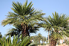 Palm Trees & Blue Sky Up Close photo thumbnail