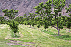 Rows of Apple Trees photo thumbnail