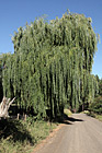 Willow Tree photo thumbnail