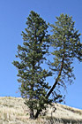 Tree on Hill photo thumbnail