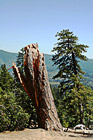 Yosemite Tree & Stump photo thumbnail