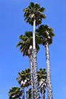 Palm Trees photo thumbnail
