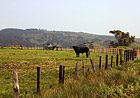 Black Cow on Farm photo thumbnail