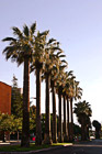 Row of Palm Trees in San Jose photo thumbnail