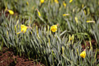 Close up of Yellow Daffodils photo thumbnail