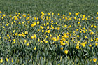 Daffodils in Farm Field photo thumbnail