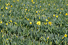 Daffodil Flowers Close Up photo thumbnail