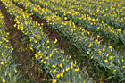Rows of Daffodils on Farm Field photo thumbnail