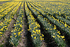 Rows of Daffodils photo thumbnail