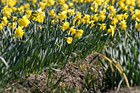 Close up of Daffodils on a Farm photo thumbnail