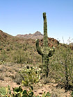 Cactus Tree photo thumbnail