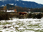 Cow Standing Alone photo thumbnail