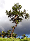 Maui Tree & Dark Clouds photo thumbnail