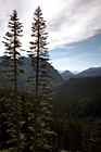Two Tall Evergreen Trees photo thumbnail