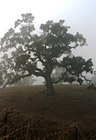 Lone Foggy Tree photo thumbnail