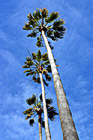 Three Palm Trees & Blue Sky photo thumbnail